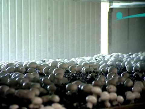 видео: как выращивают шампиньоны