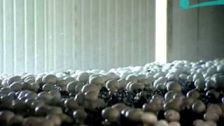 как выращивают шампиньоны(Телеканал