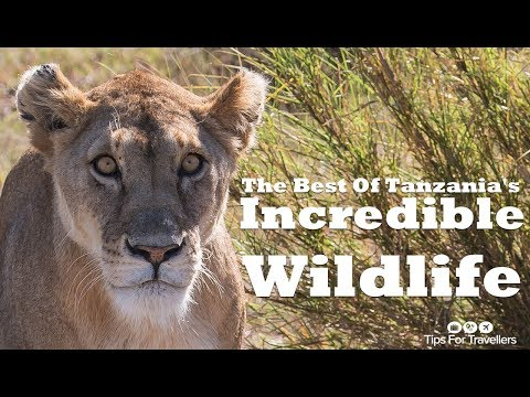 Tanzania's Incredible Safari Wildlife - All In One Amazing Video !