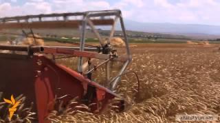 Շիրակի մարզում սպասվում է հացահատիկի ռեկորդային բերք