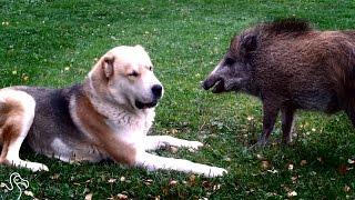 Dog And Pig BFFs Zoom Around Their Yard Together