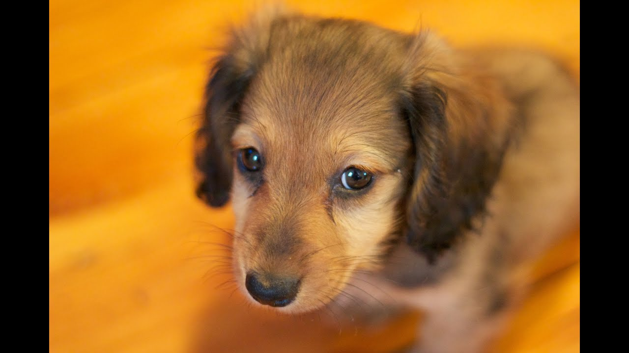 Mini Dachshund Puppy 8 weeks YouTube