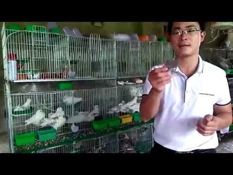 cách phòng  và các bệnh thường gặp ở chim bồ câu...