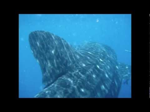 Whale Shark - San Agustin.mp4