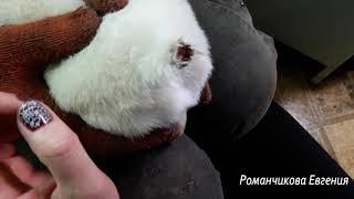 Как снять самостоятельно щенкам швы с ушей и хвостов  в домашних условиях