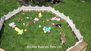 Little Rascals Uk Breeders New Litter Of Long Coated Chihuahua Little Girl - Puppies For Sale UK