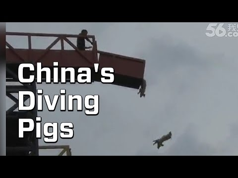 Diving Pigs Are A Big Deal In China