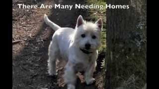 Westie Terrier Rescue - Rescue Dog Centres