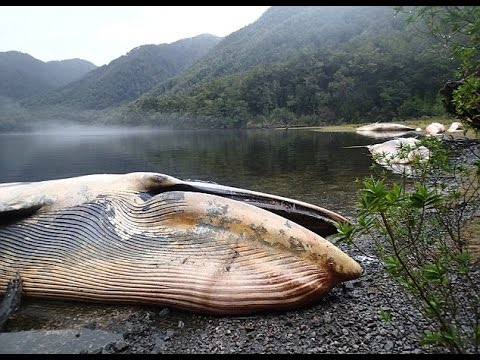 More Than Dead Whales Found Southern Chile