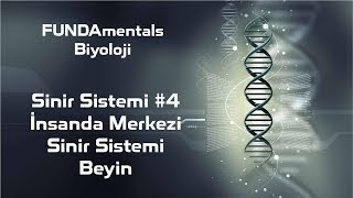 Sinir Sistemi #4-İnsanda Merkezi Sinir Sistemi - Beyin