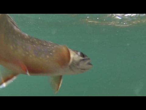 Fishing For Wild Brook & Cutthroat Trout In The Eastern Sierras Hwy 395 In HD
