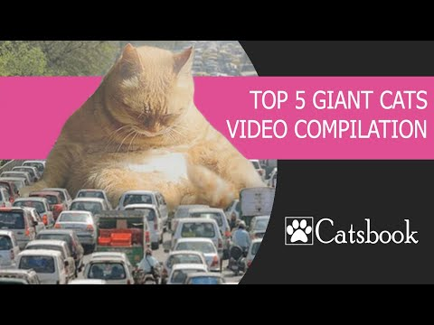 TOP 5 Giant Cats Video
