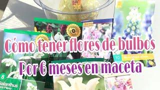 COMO TENER FLORES DE BULBOS POR 6 MESES EN UNA MACETA