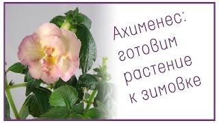 Ахименес: готовим растение к зимовке