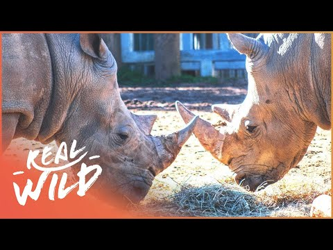 Rhinos Knock Horns In The Chester Zoo | Zoo Days | Real Wild