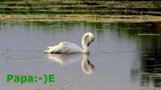 Singschwan - Whooper Swan - Cygnus cygnus
