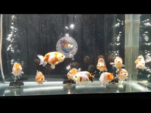 Goldfish Island Sample Assorted Starter Collection Calico Ranchu 112919