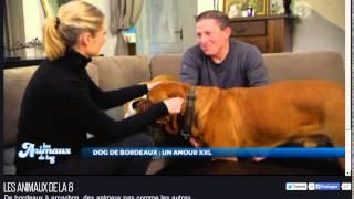Dogue De Bordeaux Les Animaux De La 8