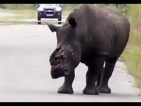 Dehorned Rhino Seen On The Road In The Kruger National Park - Not For Sensitive Viewers