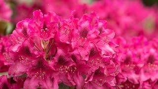 Rododendrony i azalie - jak sadzić i nawozić?
