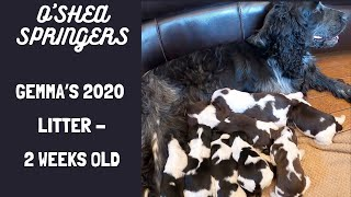 Gemma's Puppies  2 week old English Springer Spaniel