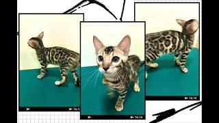 強烈對比金豹貓 炭豹貓基因 超美 親人-Kelly Bengals