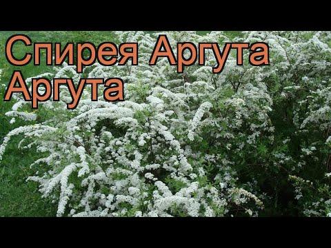 Спирея аргута Аргута (spirea arguta arguta) 🌿 спирея Аргута обзор: как сажать саженцы спиреи Аргута