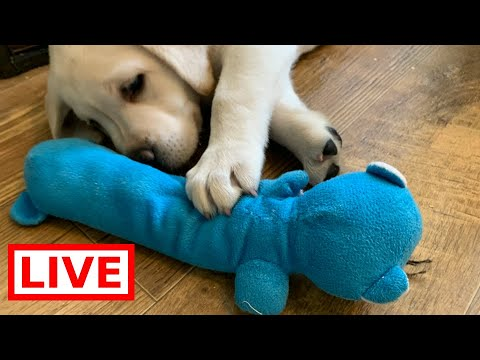LIVE STREAM Puppy Cam! - Cutest Lab Puppies at Play