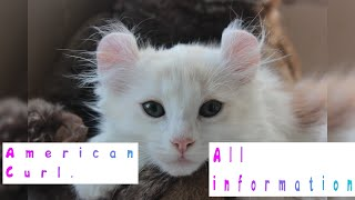 American Curl. Pros and Cons, Price, How to choose, Facts, Care, History