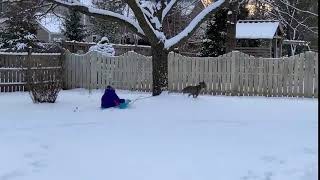 Little Girl Falls out of Sled Pulled by Dog - 1020657