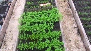 25 апреля - первое употребление из теплицы ранних салатов.Закаливание рассады в теплице.