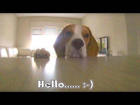 HIDDEN CAMERA PRANK ON MY BEAGLE : Funny Beagle Dog  Louie