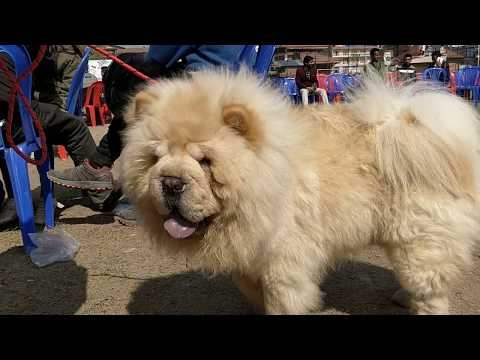 Chow Chow dog - 9th Grand dog show 2019, Nepal