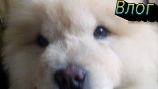 Драка щенка чау-чау с большой собакой