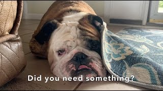 Reuben the Bulldog: A Day In the Life