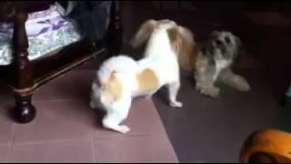 Shih Tzu + Maltese Puppy For Adoption - 11 Months, Pf54419..