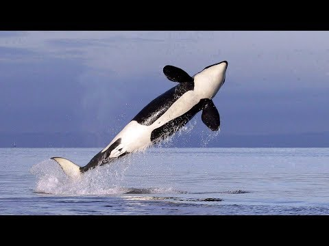 Why Are Killer Whales Important?