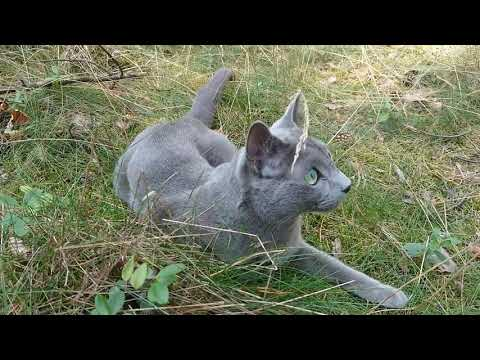 Caspian, a Russian blue cat in the woods - highlights