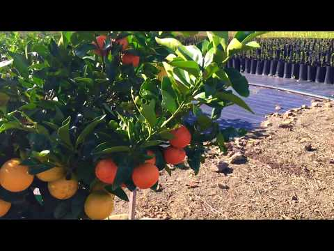 Citrus Fruit Salad Tree