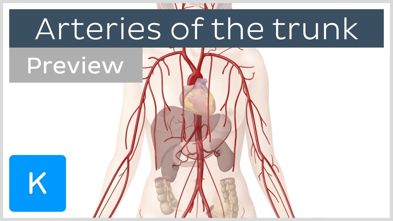 Arteries of the Trunk - Basics & Branches - Human Anatomy | Kenhub ...
