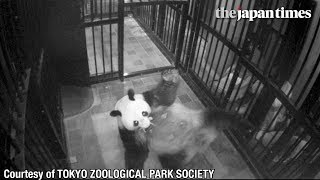 Giant panda at Tokyo's Ueno Zoo gives birth to a cub