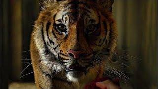 У зверей есть душа. Я видел это по их глазам. Пи пытается покормить тигра. Жизнь Пи. 2012.