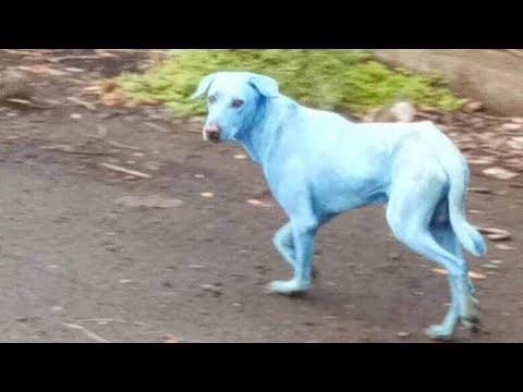 Aparecen perros azules en India | Noticias con Francisco Zea