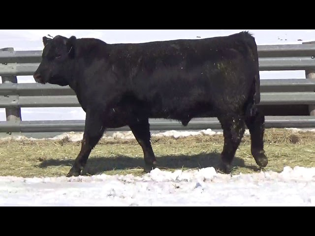 Connealy Angus Lot 443