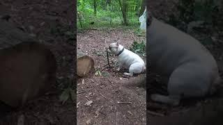 французский бульдог Сема развлекается в лесу!