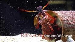 Salty Sidestep: Clown Fangschreckenkrebs Makro