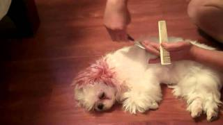 Shih Tzu Long Hair/trim Part One