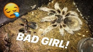 friend-s-female-tarantula-refused-food-for-months-but-decides-to-eat-my-male-smh-bonus-video