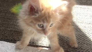 Мой маленький котенок Курильский бобтейл! My little kitten Kurilian Bobtail.