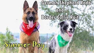 German Shepherd Rada and Border Collie Right. Summer Day. Немецкая Овчарка Рада И Бордер Колли Райт